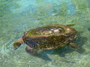 InterContinental Resort and Spa Moorea - Tortilla, one of the Sea Turtles
