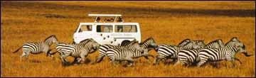 On Safari Watching Zebra